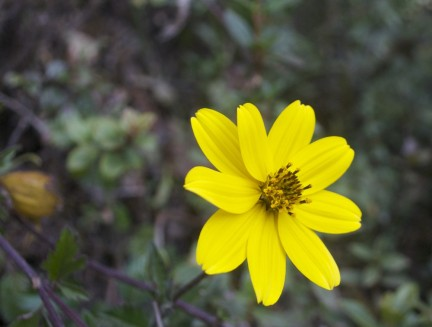 Wild flower on the trail to Salkantay