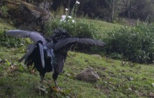 Rooster in action, Peru
